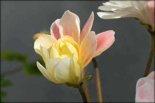 Pelargonium 'Lara Marjorie', zonartic