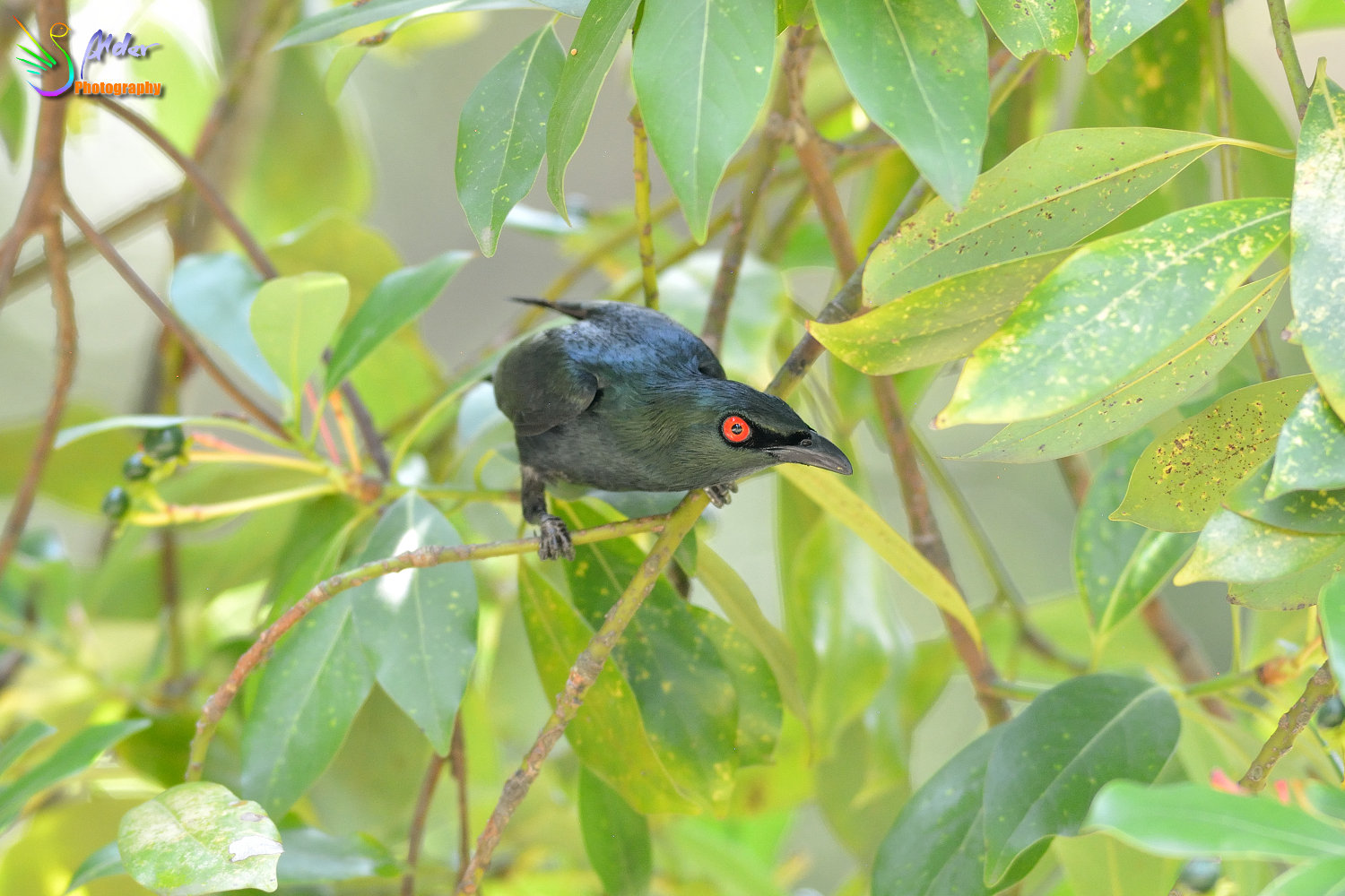 Asian_Glossy_Starling_7598