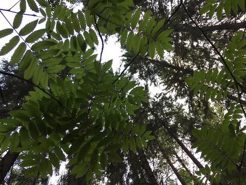 """""""Mä metsän polkua kuljen / kesäillalla aatteissain"""" (Eino Leino) #green #nature #pihlaja #rowan #leaves #metsä #forest #lenkkipolunvarrelta #suolijärvi #100happydays 54/100"""