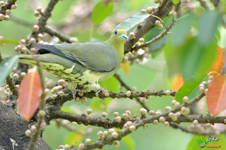 Japanese_Green_Pigeon_8686