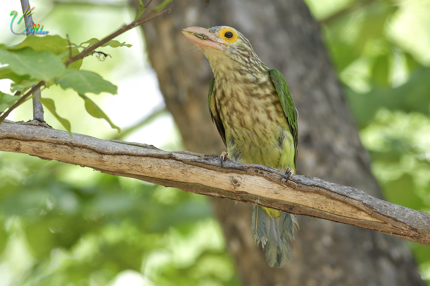Lineated_Barbet_6812