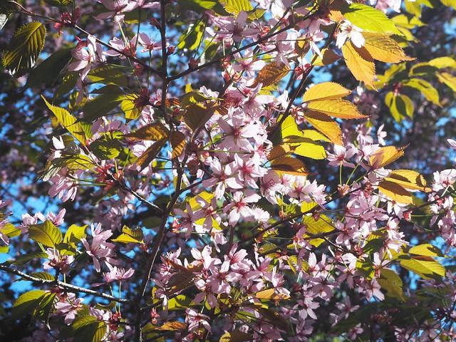 cherryblossomP5125006,japanesestylegardenP5124841,cherryblossomP5124847, cherry blossom, kirsikkapuu, kirsikan kukka, helsinki, roihuvuori, finland, suomi, hanami, helsinki tips, cherry park, japanese style garden, cherry tree park, cherry park, cherry trees, kirsikankukka puu, blooming, kukkia, vaaleanpunainen, pinkki, kukka, flower, cherry blossom helsinki, blue sky, sininen taivas, may, toukokuu, kesä, summer, kevät, spring, suomi, cherry woods, kirisikkapuisto, roihuvuori, japanilaistyylinen puutarha,