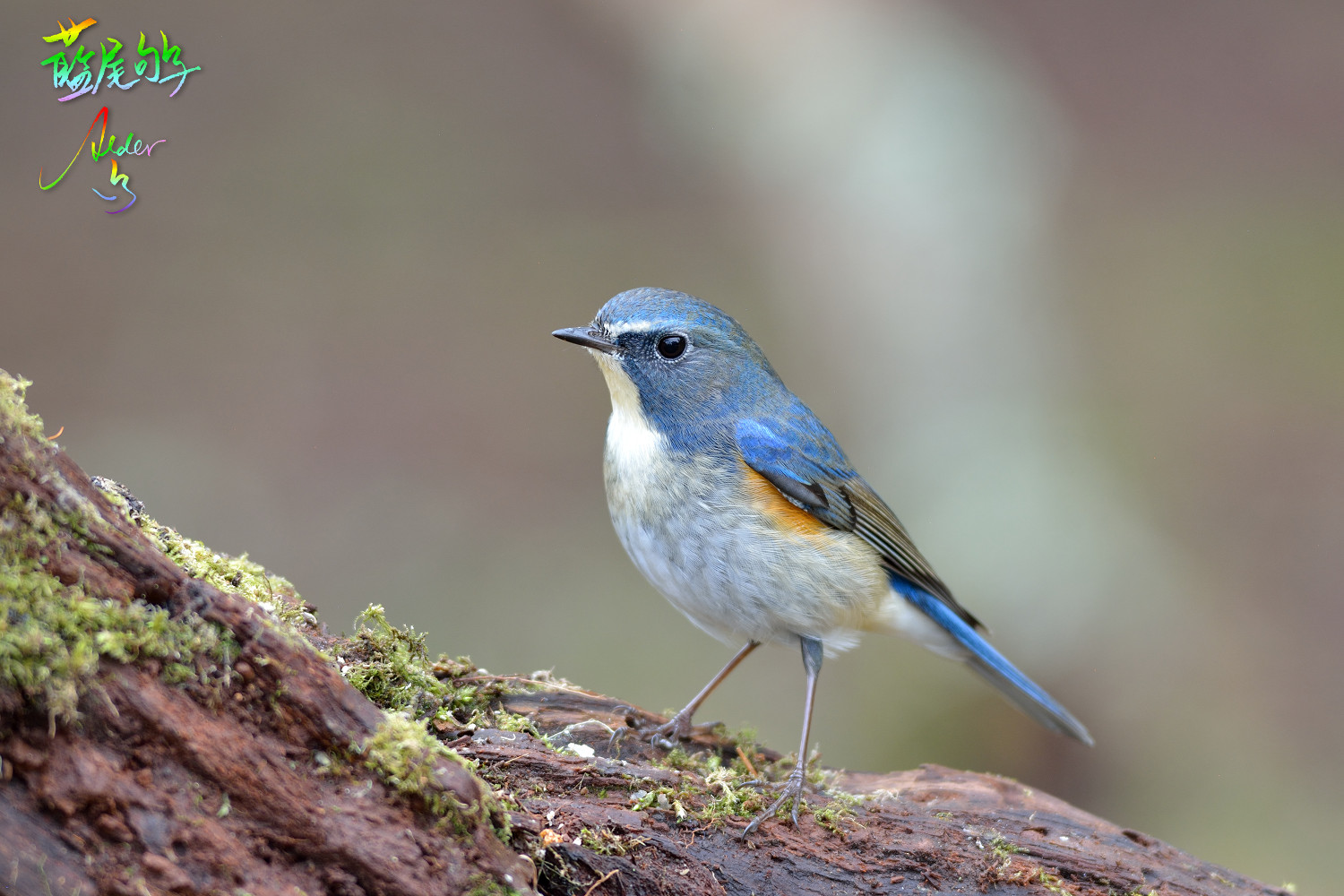 Orange-flanked_Bluetail_9354