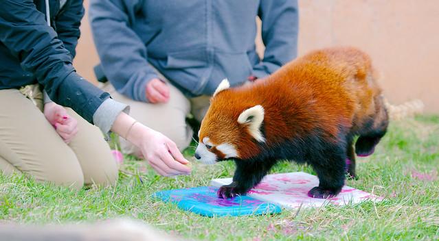 Red Panda-A_133