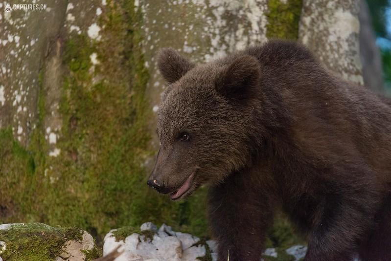 Brown bear 18 - Slovenia