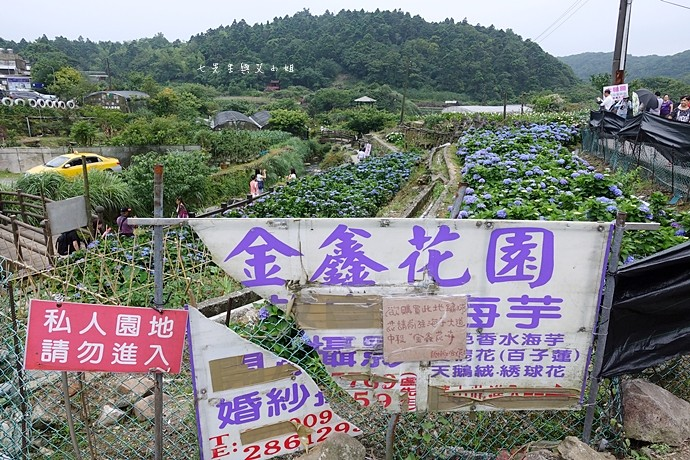 21 陽明山 繡球花 大梯田 竹子湖