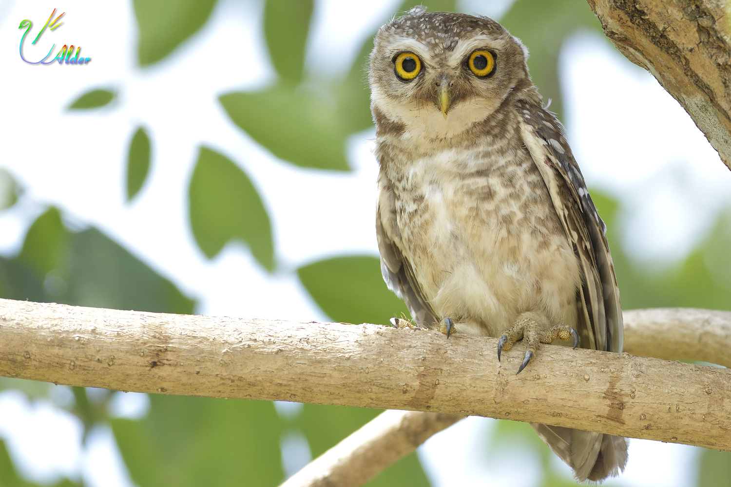 Spotted_Owlet_7059