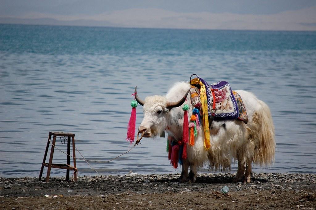 Qinghai Yak