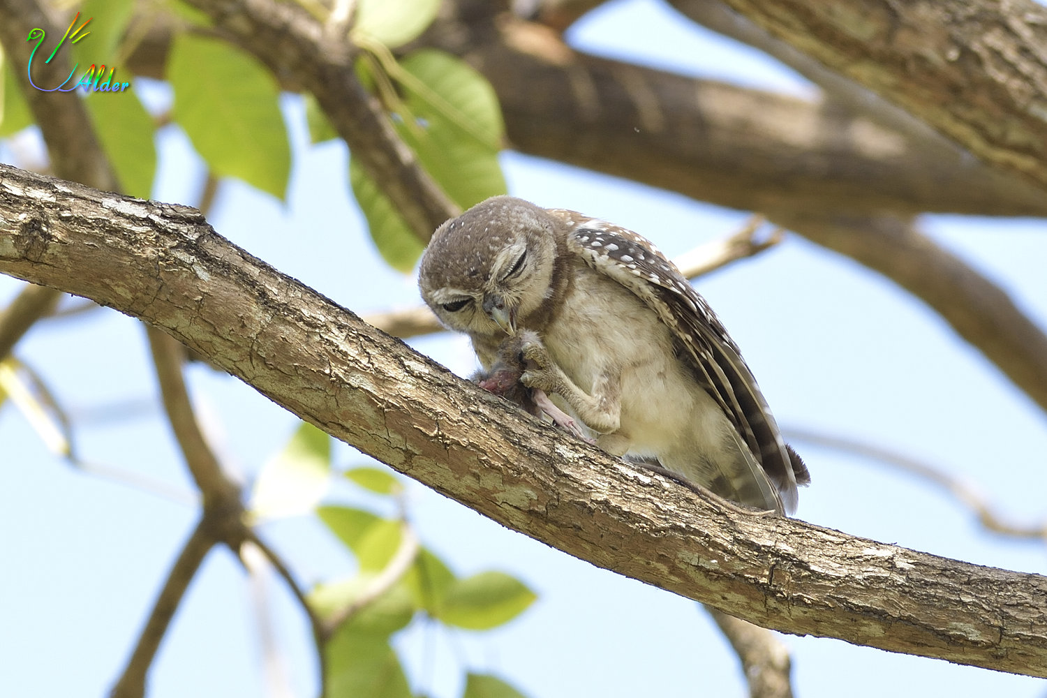 Spotted_Owlet_4576