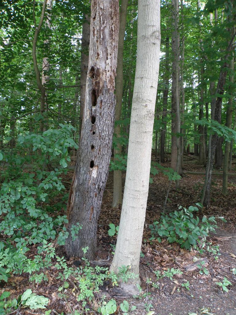 Woodpecker Evidence
