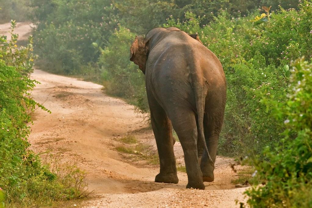 Elephant (41) - Sri-Lanka