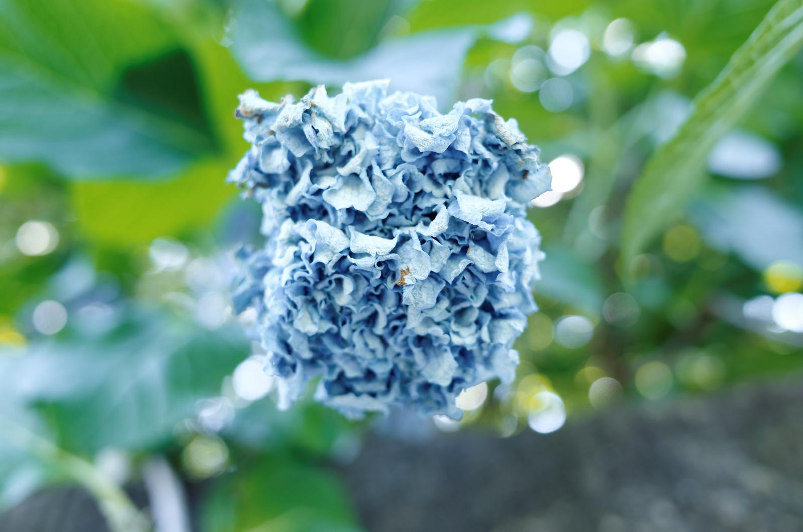 萎れ紫陽花