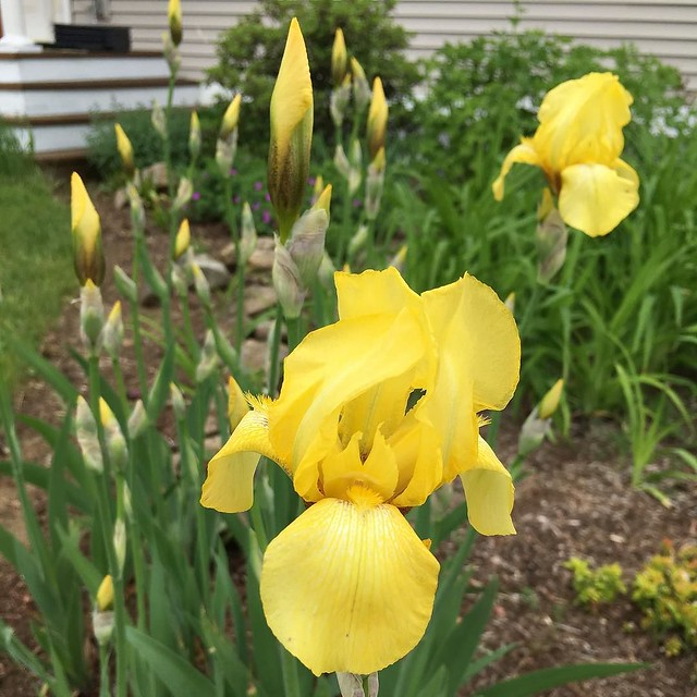 Yellow irises popped open today. 💛