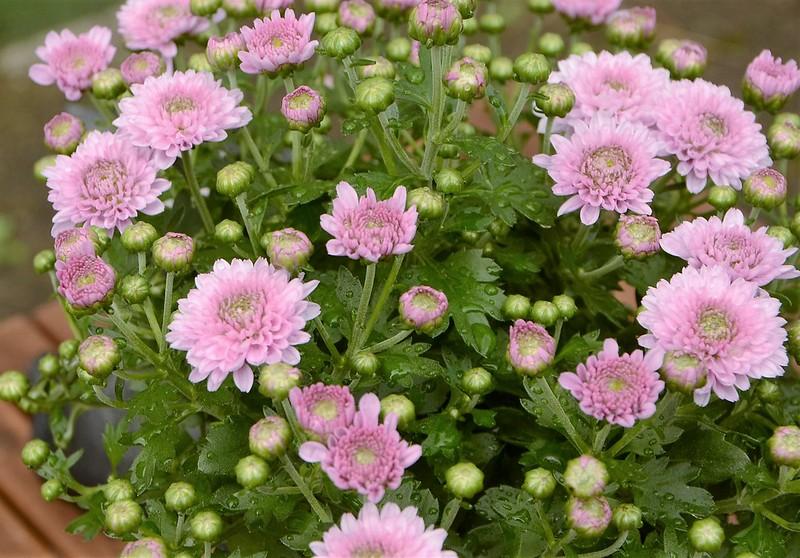 Chrysanthemum 05.08 (2)