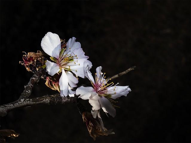 16 Flor del almendro