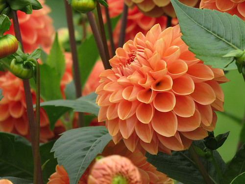 Orange Dahlias in the Dublin Botanical Garden in Ireland