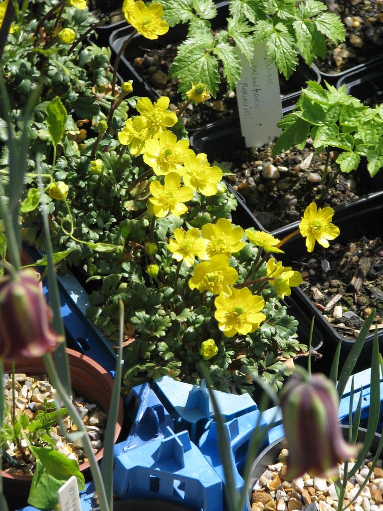 Ranunculus sp. Cazorla