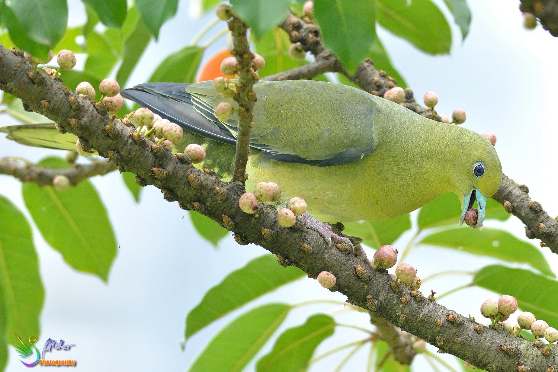Japanese_Green_Pigeon_8618