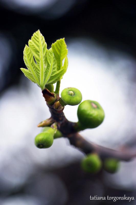 Первые плоды инжира