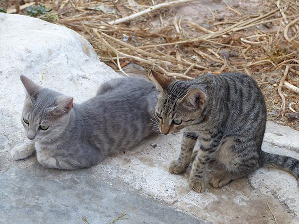 deux chats gris