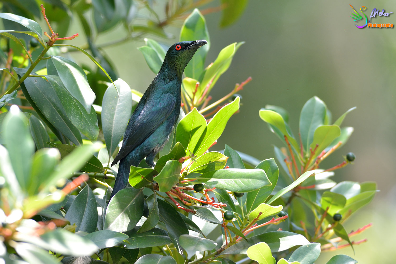 Asian_Glossy_Starling_7579