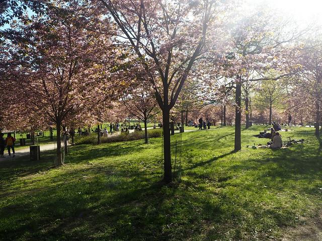 kirsikkapuistoP5125027,japanesestylegardenP5124841,cherryblossomP5124847, cherry blossom, kirsikkapuu, kirsikan kukka, helsinki, roihuvuori, finland, suomi, hanami, helsinki tips, cherry park, japanese style garden, cherry tree park, cherry park, cherry trees, kirsikankukka puu, blooming, kukkia, vaaleanpunainen, pinkki, kukka, flower, cherry blossom helsinki, blue sky, sininen taivas, may, toukokuu, kesä, summer, kevät, spring, suomi, cherry woods, kirisikkapuisto, roihuvuori, japanilaistyylinen puutarha, kirsikankukkapuisto,