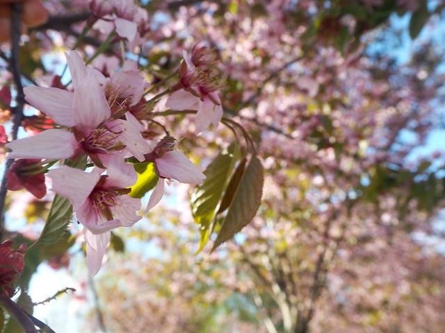 candytreescherryblossomP5125133,candygirlcherrytreepark2P5125066, cherry park, helsinki, suomi, finland, roihuvuori, kirsikkapuisto, cherry tree park, kirsikkapuu puisto, blossom, kukinta, sakura, itä-helsinki, east helsinki, lovely, ihana, green, pink, vihreä, pinkki, sun, aurinko, flowers, kukat, blossom, kukinta, may, toukokuu, kevät, spring, vaaleanpunainen, takki, coat, light pink, pale pink, cherry blossom girl, kirsikankukka tyttö, nature, luonto,