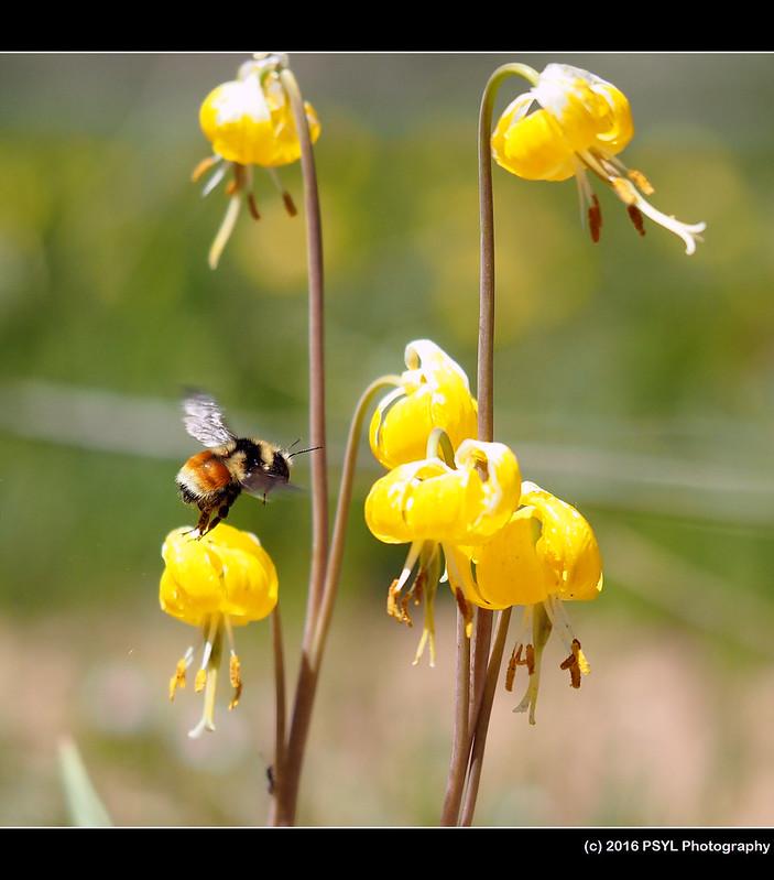 Bumblebee visiting Erythronium grandiflorum
