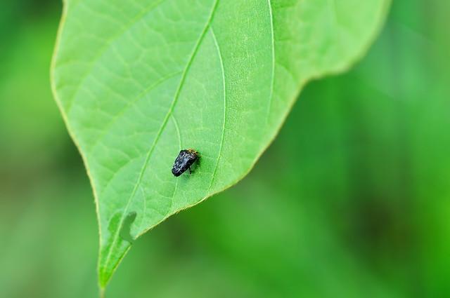 クズノチビタマムシ [Trachys auricollis]...
