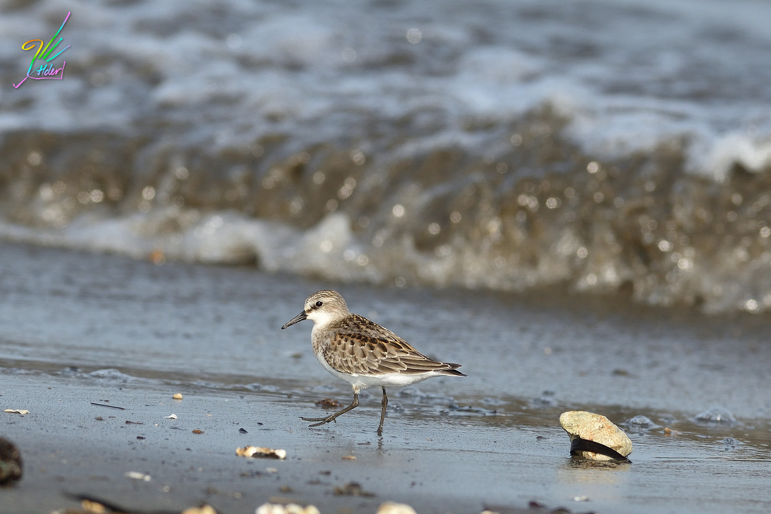 Red-necked_Stint_0356