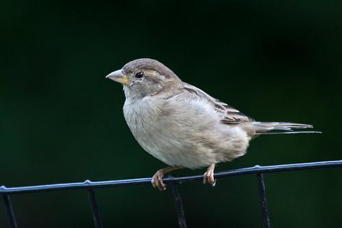 Central Park House Sparrow