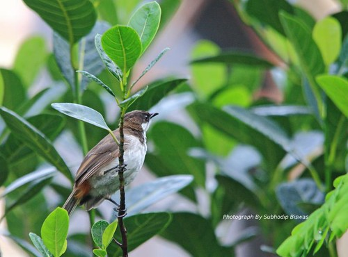 Red Whiskered Bulbul Juvenile. | by Subhodip Biswas