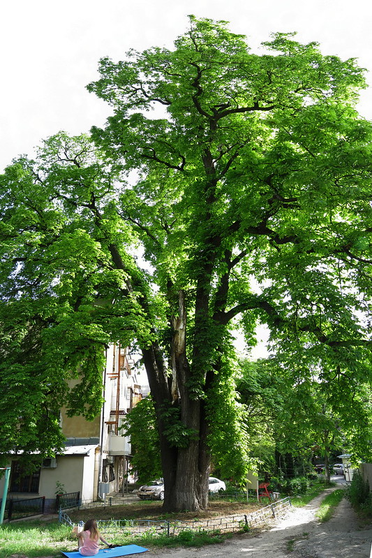 Simferopol, Horse-chestnut tree five-trunked, 2016.06.18 (07)