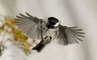 Landing Coal Tit 6 | by aerial2