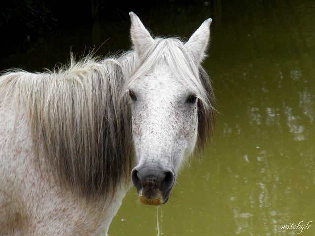 New Forest Pony 1