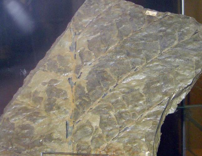 Archaeopteris hibernica 8146812247_77f57f037e_o