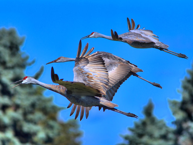Sandhill Cranes in flight HDR 02-20160926