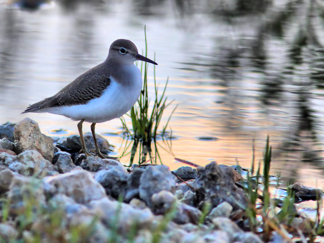 Spotted Sandpiper HDR 07-20160912