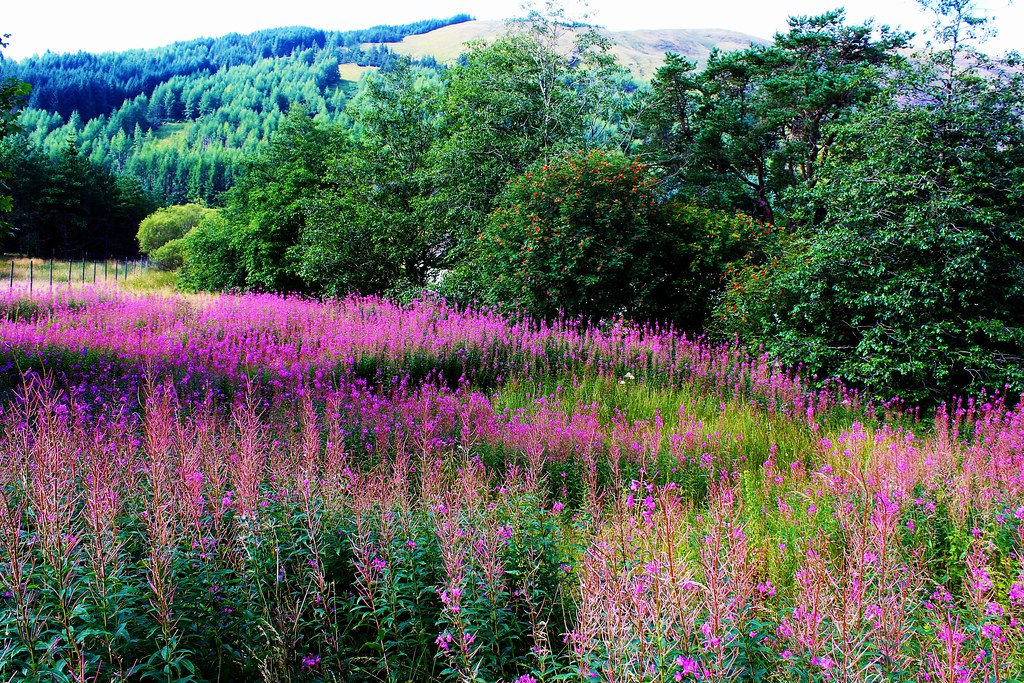 Wildflowers, Tyndrum, Scotland
