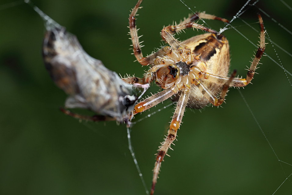 Spider in web with prey - photo#11