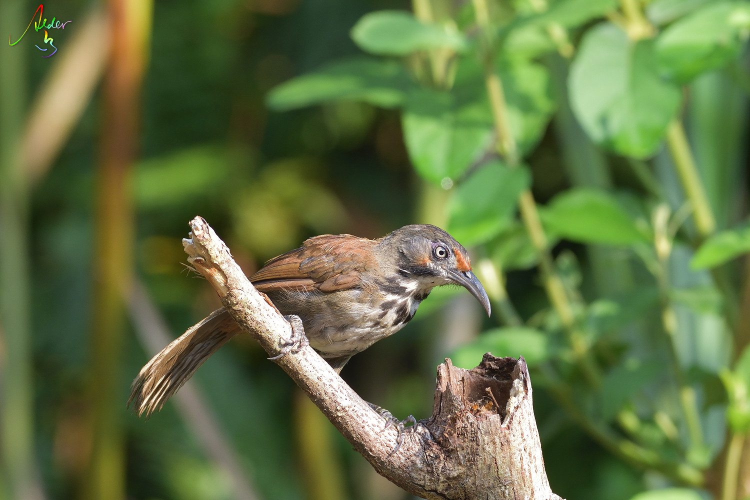 Rusty-cheeked_Scimitar_Babbler_4588