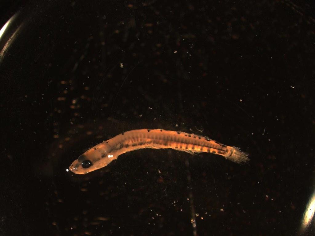Luciogobius sp.,9.6mm SL