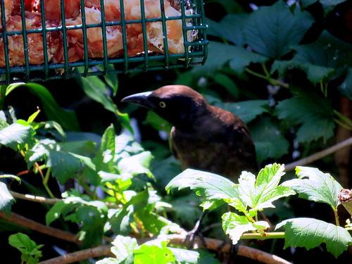 brewer blackbird