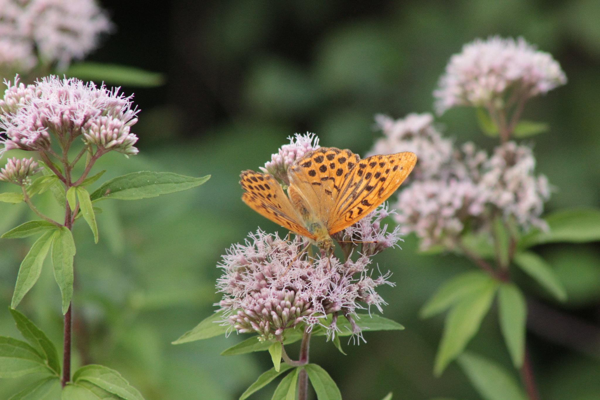 fil(et) à papillons - Page 10 29057613391_ddb8bbc8ab_k