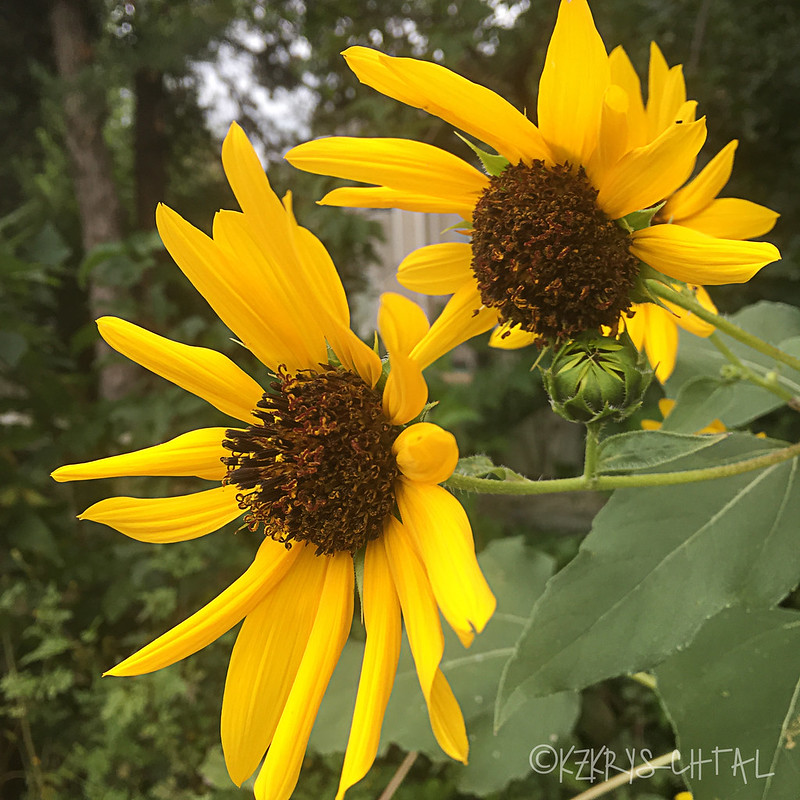 IMG_4571Sunflowers