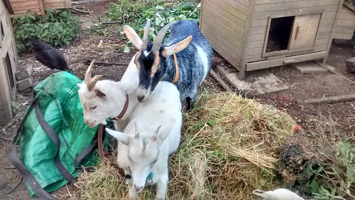 goat and kids Sept 16 (2)