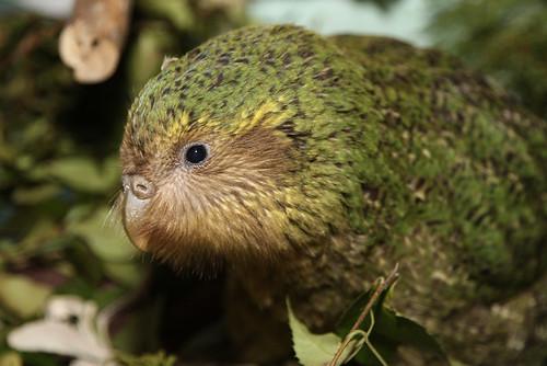 Kakapo chick