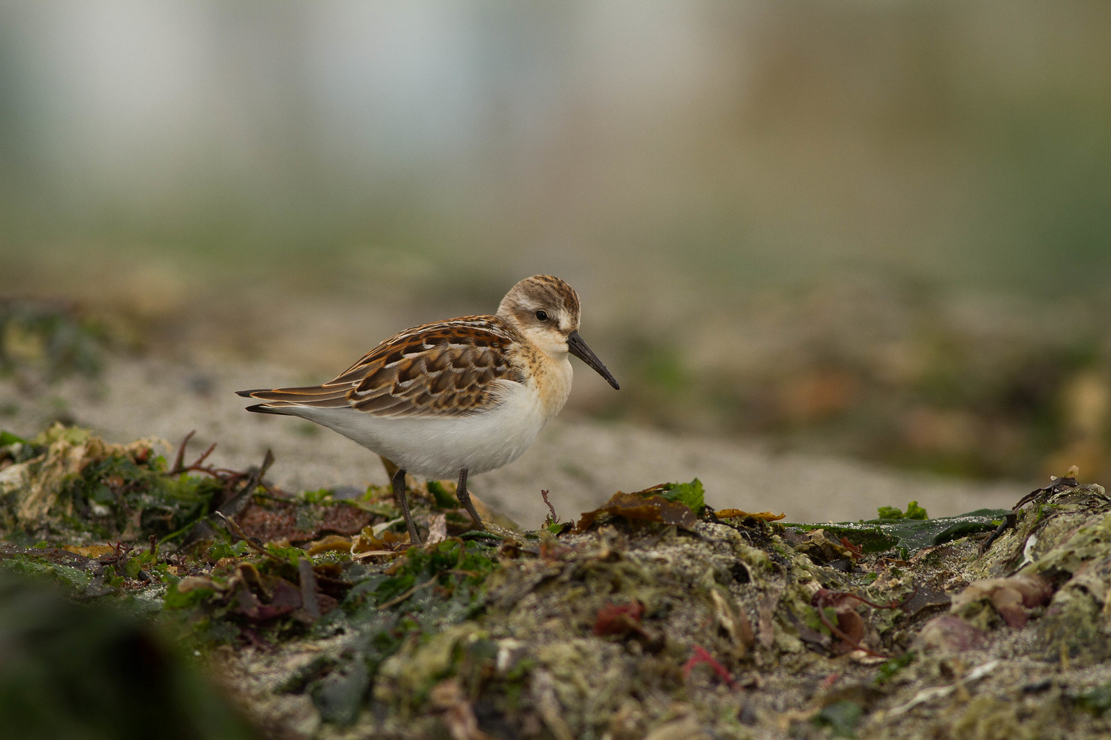 Hatch Year Western Sandpiper Profile (2)