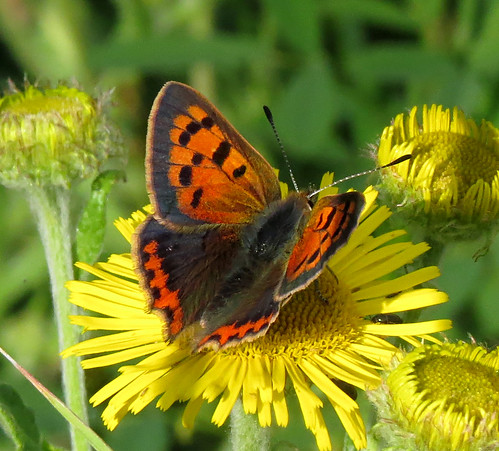 Small Copper Lycaena phlaeas Tophill Low NR, East Yorkshire August 2016