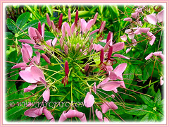 Beautiful pink blooms of Cleome hassleriana (Spider Flower, Spiderplant, Pink Queen, Grandfather's Wiskers), 27 July 2008